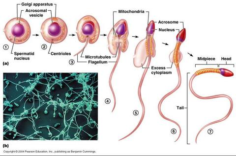sperm maturation process